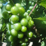close up of green riesling grapes Raft Masters Tours Colorado